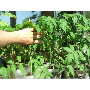 Как благополучно взрастить саженцы помидоров