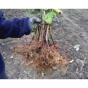Где купить и как посадить саженцы малины