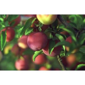 Сорт сливы Персиковая