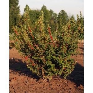 Саженцы войлочной вишни и прочих плодовых деревьев