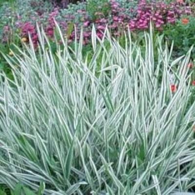 Фалярис elegantissima (элегантиссима)