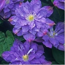Клематис крупноцветковый Блю Экспложен