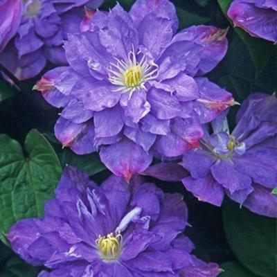 Купить саженцы Клематис крупноцветковый Блю Экспложен
