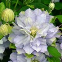 Клематис крупноцветковый Даймонд Болл