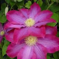 Клематис крупноцветковый Какио
