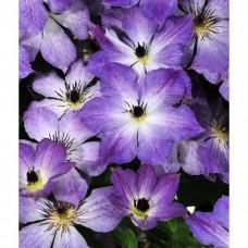 Клематис крупноцветковый Клаудберст