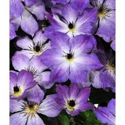 Купить саженцы Клематис крупноцветковый Клаудберст