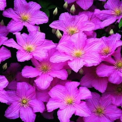 Купить саженцы Клематис крупноцветковый Комтис де Бушо