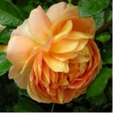 Роза английская парковая Чарльз Остин