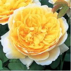 Роза английская парковая Шарлотта