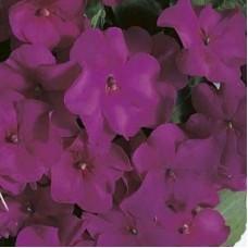Бальзамин Фиолетовый