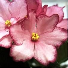 Бальзамин Розовый с каймой