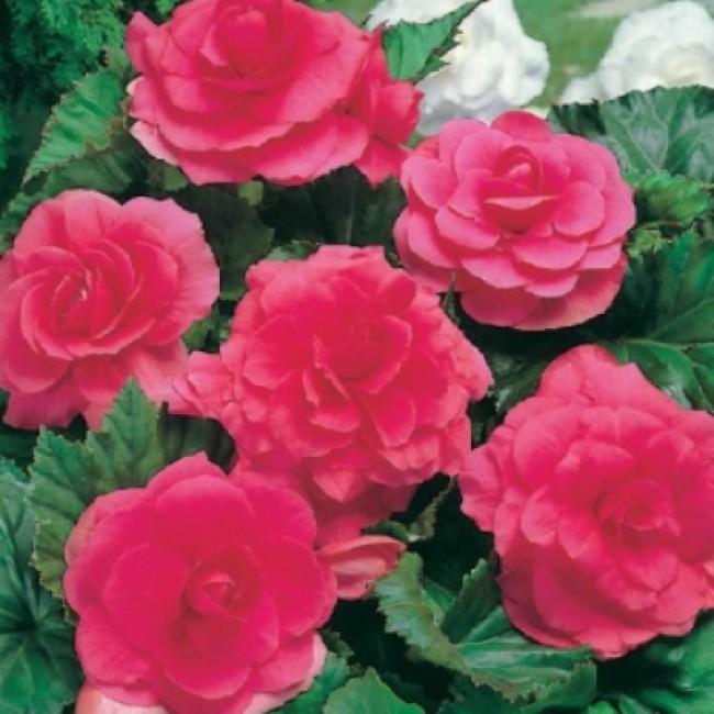 Бегония махровая розовая уход выращивание 72