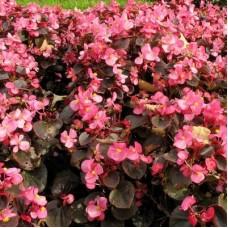 Бегония вечноцветущая бронзоволистная Розовая