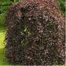 Бук лесной Пендула