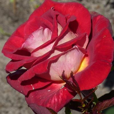 Роза чайно-гибридная Биколет купить саженцы