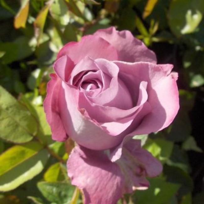 rose blue parfum. Black Bedroom Furniture Sets. Home Design Ideas