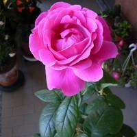 Роза чайно-гибридная Эминенс