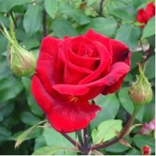 Роза чайно-гибридная Эрика Плюхар