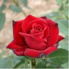 Роза чайно-гибридная Ингрид Бергман