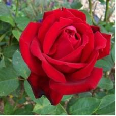 Роза чайно-гибридная Крайслер Империал