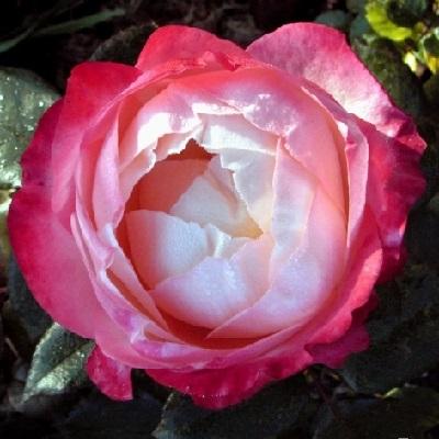 Роза чайно-гибридная Ностальжи купить саженцы