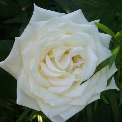 Роза чайно-гибридная Полаштерн купить саженцы