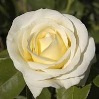 Роза чайно-гибридная Шопен