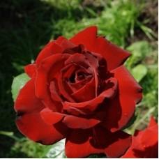 Роза чайно-гибридная София