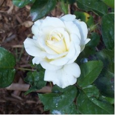 Роза чайно-гибридная Тру Лав