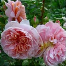 Роза Мейян чайно-гибридная Колет