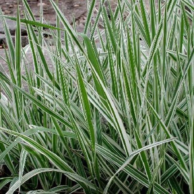 Фалярис тростниковый (phalaroides arindinacea)