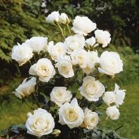 Роза флорибунда Кристалперл