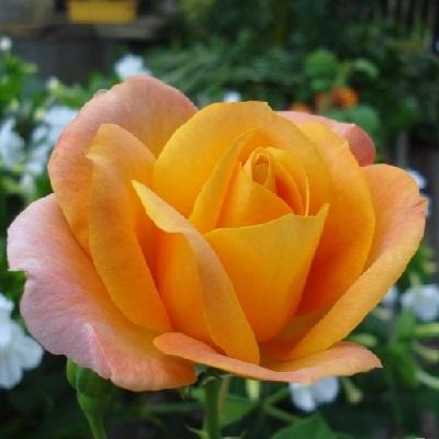 Роза флорибунда Реми Мартин купить саженцы