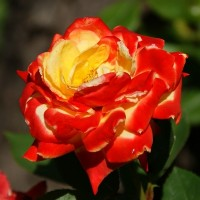 Роза флорибунда Самба