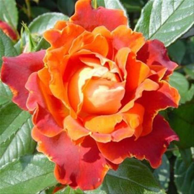Уход за розами раффлс