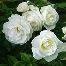 Роза флорибунда Вайт