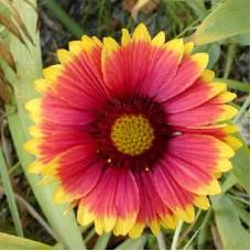 Гайлардия крупноцветковая Кобольд
