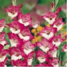 Гладиолус бабочковидный Персей