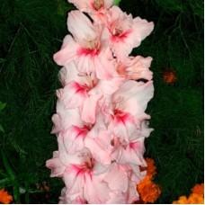 Гладиолус крупноцветковый Адреналин