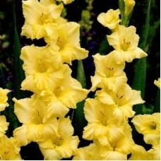 Гладиолус крупноцветковый Алабама