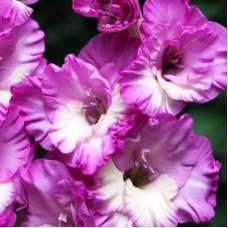 Гладиолус крупноцветковый Анук