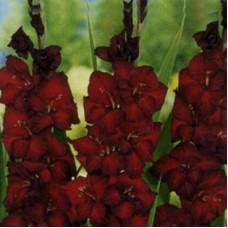 Гладиолус крупноцветковый Арабиан Найт