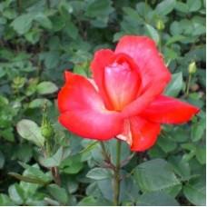 Роза грандифлора Кэп Хон