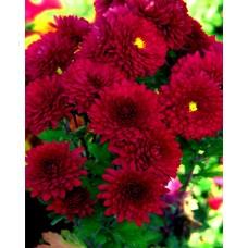 Хризантема в ассортименте Красная