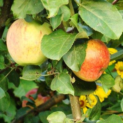Яблоня Антоновка десертная купить.