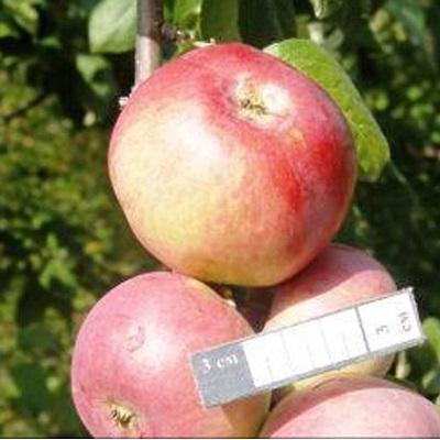 яблоня горноалтайское описание фото отзывы