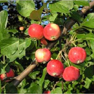 Яблоня Горноалтайское купить.