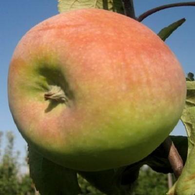Яблоня карликовая Чудное купить.