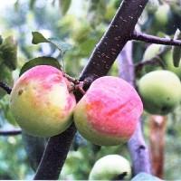 Яблоня карликовая Ковровое
